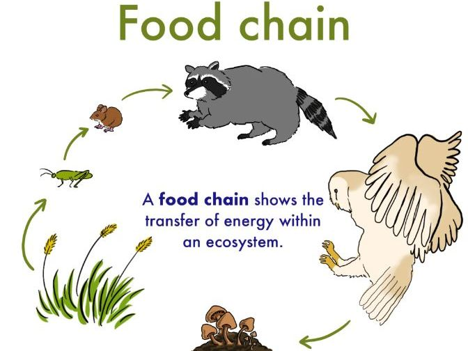 Food Chain-For 5 to 7 year olds
