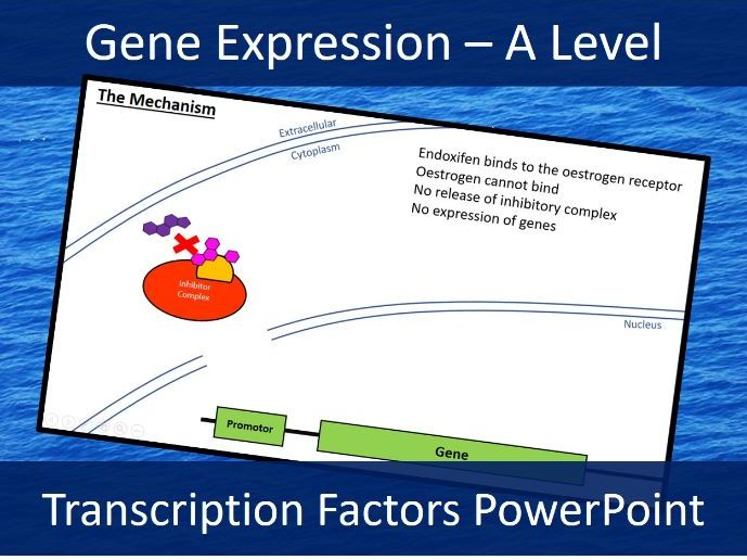 Transcription Factors - Oestrogen Receptor - A Level Biology PowerPoint