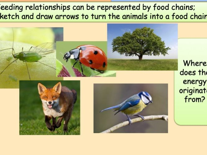 GCSE Food Chains