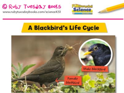 A Blackbird's Life Cycle
