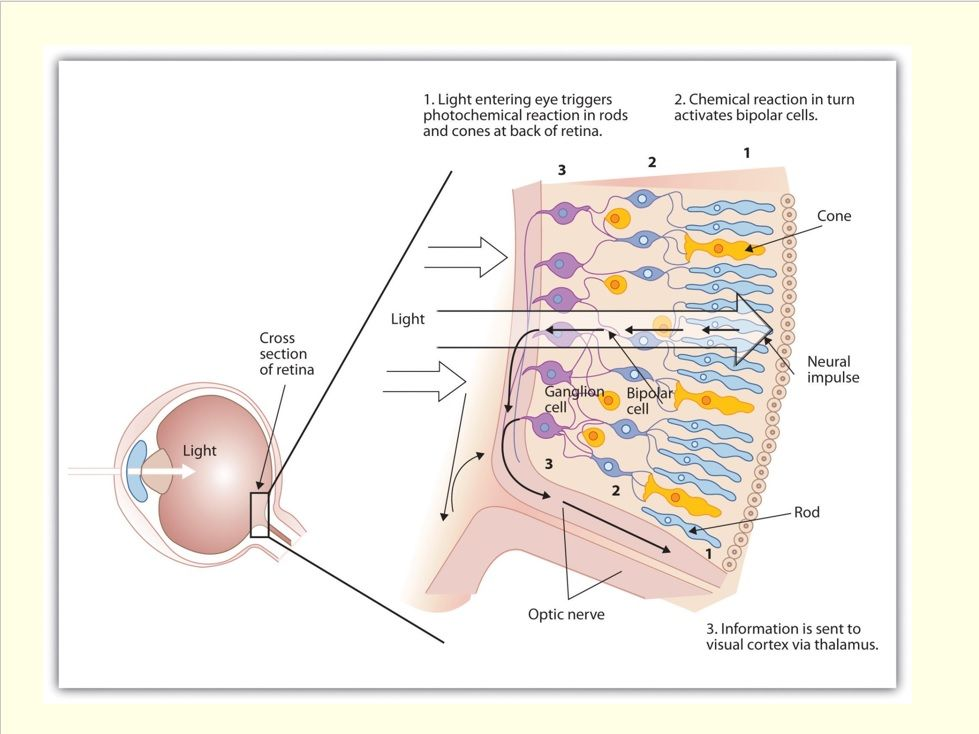 AQA A Level Biology - The Eye