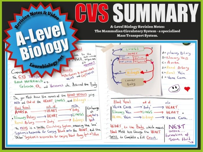 The Cardiovascular System (Summary) A-Level Biology Revision Notes and Worksheet.