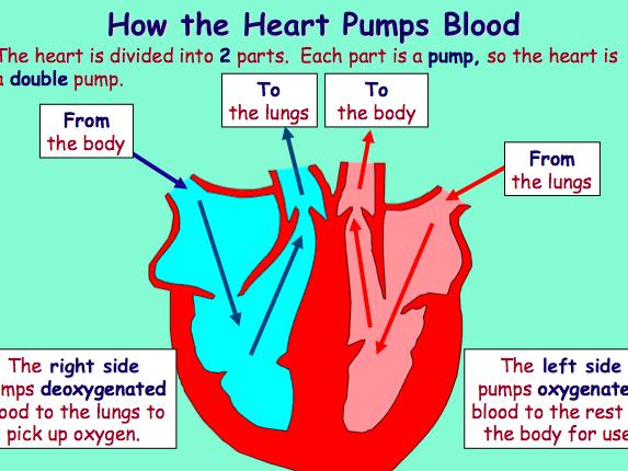 GCSE P.E - Circulatory System Presentation