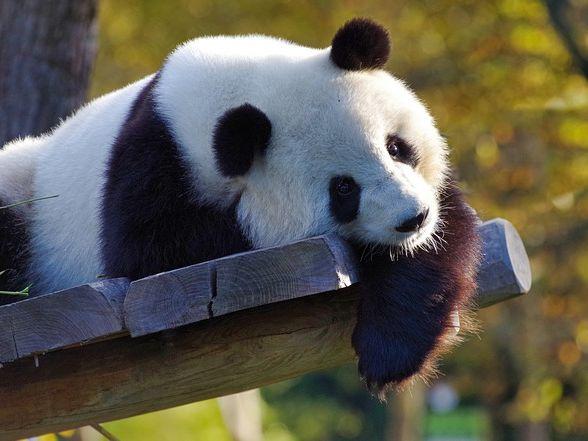 PANDA  - a story of a lonely panda