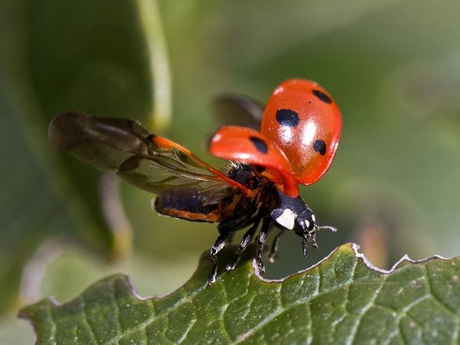 The Life Cycle of a Ladybird PowerPoint Presentation for KS2 (widescreen)