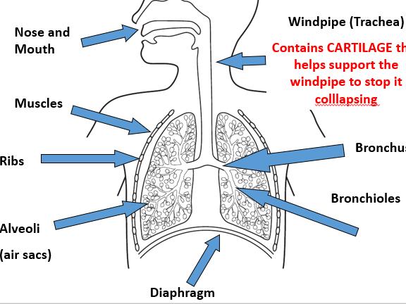 Ks3 Respiratory System And Respiration