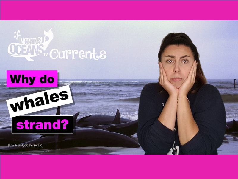 Why do whales strand themselves?