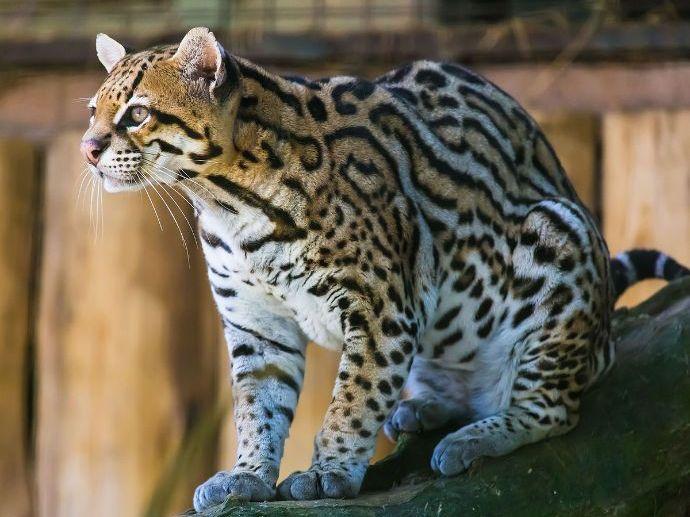 Animal Non-chronological Report
