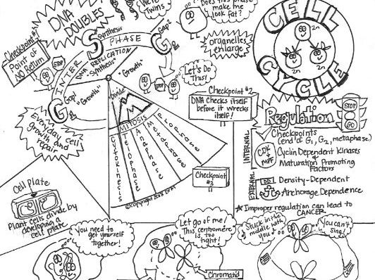Cell Cycle Sketch Notes