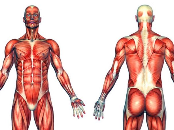 Muscles and their functions