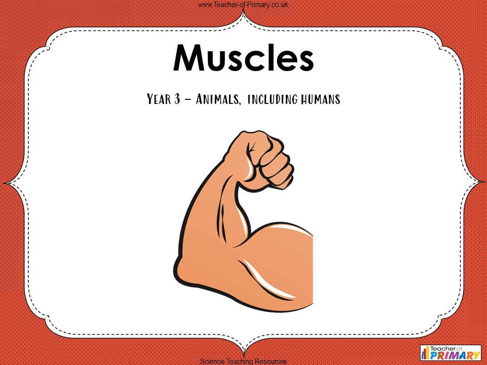 Muscles -  Year 3
