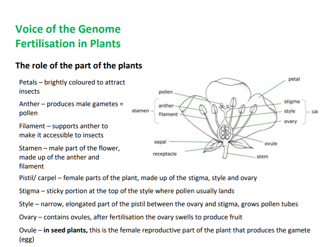 Summary of fertilisation in plants - A-level Biology