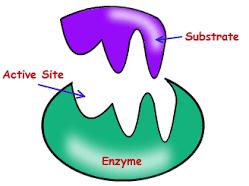 Amylase experiment