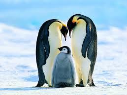 Adaptation - Penguin huddling