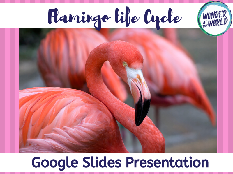 Life cycle of a flamingo Google Slides presentation