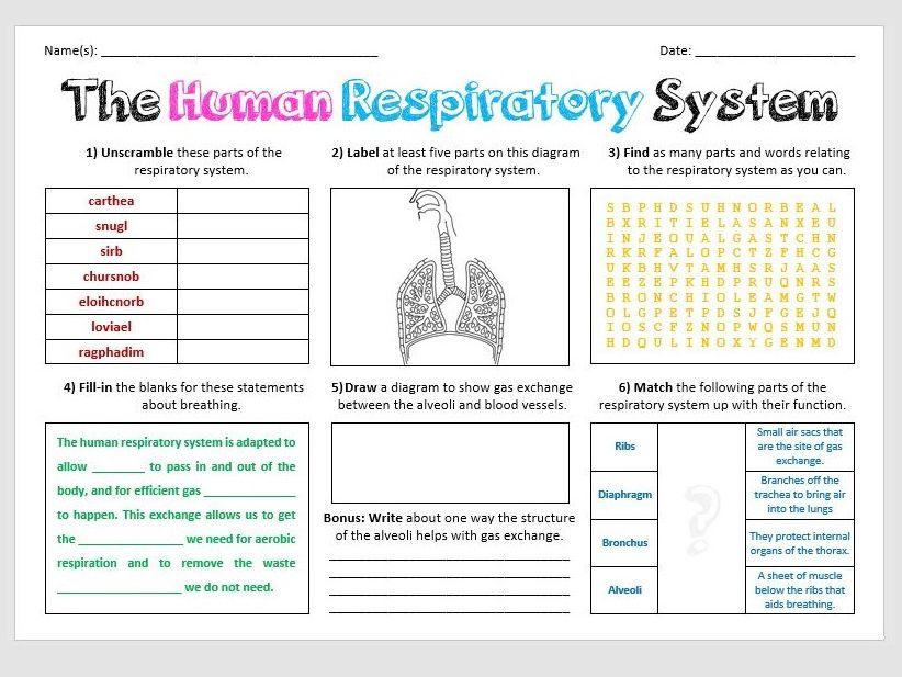 The Respiratory System - Large Activity Sheet
