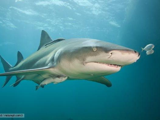 Comprehension task and article. Lemon sharks.