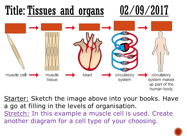 Tissues and organs - complete lesson (KS4)