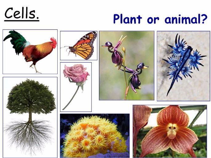 Plant Cells and Animal Cells Year 7 Lesson PowerPoint (KS3 ...