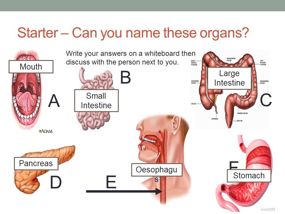 Digestive system lesson ks3