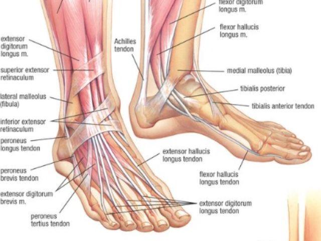 Sports Injury Las Ankle Anatomy Physiotherapy By Dannyjamespryke