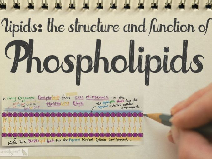 The Structure and Function of Phospholipids - A-Level Biology Revision Notes, video and worksheet