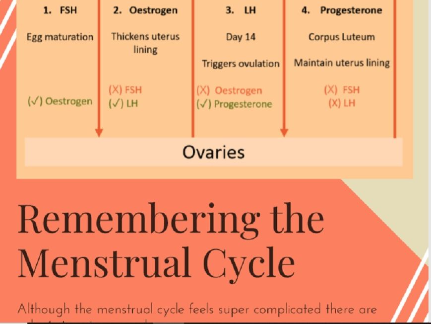 The Menstrual Cycle Poster - Homeostasis
