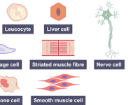Science-Biology Specialised Cells Lesson 2