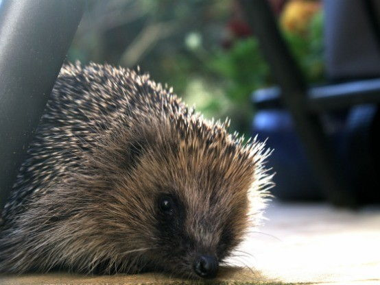 Reading Comprehension - BBC News Article - Hedgehog Preservation