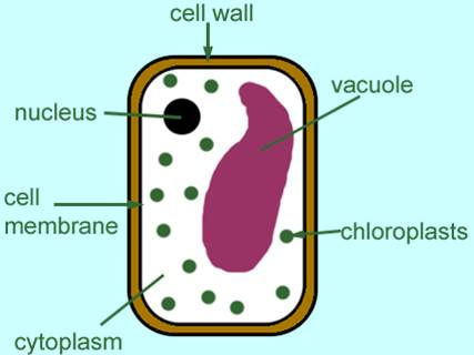 Year 7 Biology - Cells Topic