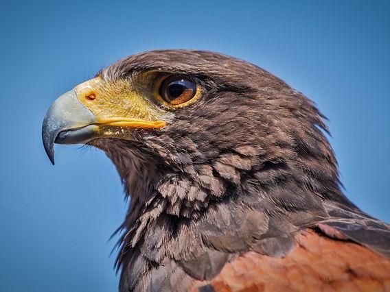 Hawk Roosting