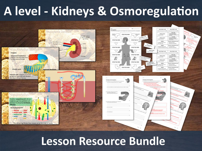 A level - Kidneys and Osmoregulation Lesson Bundle