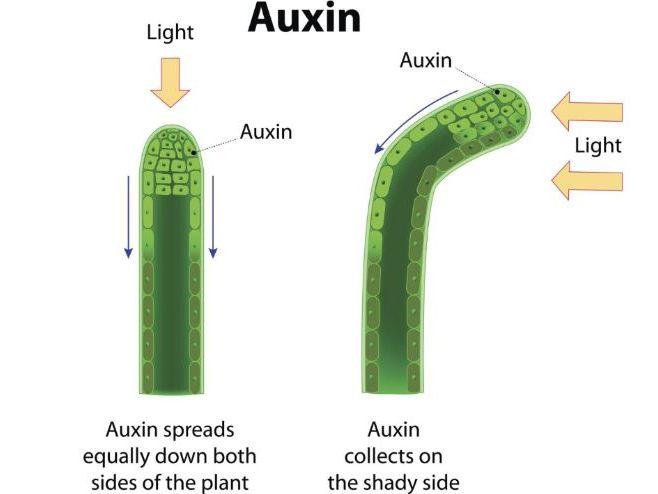 Plant Hormones [AQA NEW SPEC]