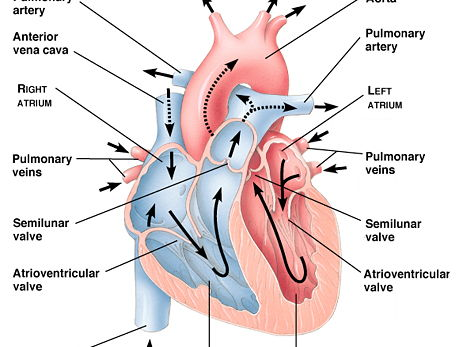 Heart diagram gcse biology basic guide wiring diagram new aqa as biology chapter 7 bundle by stephc2 teaching resources rh tes com left and right atrium heart diagram gcse left and right atrium heart diagram ccuart Images