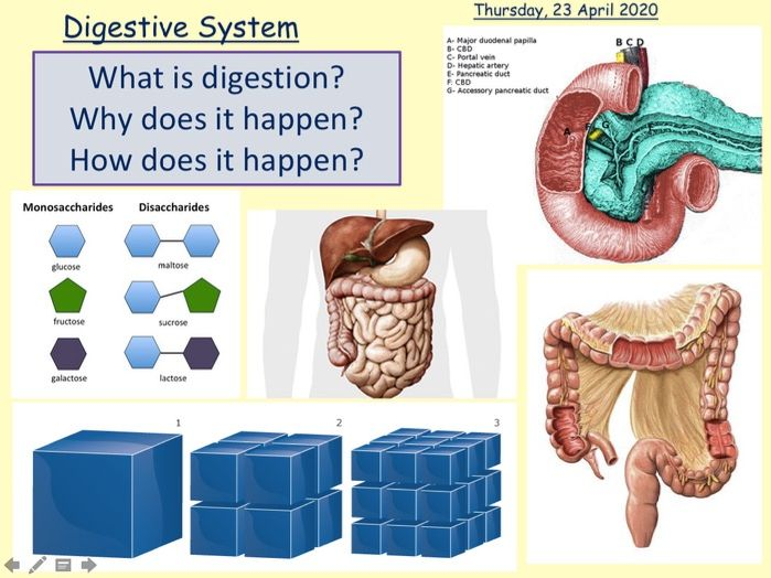 A-Level Biology Digestion and Absorption