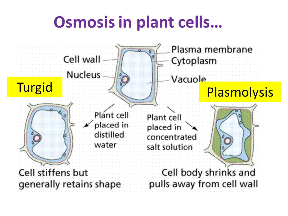 plasmolysis cell and plant cells materials When a plant cell is put in water that has a lot of material dissolved init, like salty water, the cytoplasm will shrink as it loses water through osmosis water diffusesout of the cell and into the more concentrated solution surrounding the cell see figure 3 belowduring plasmolysis the cell.