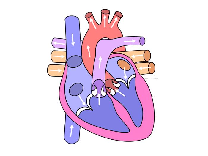 GCSE PE    Cardiovascular Lesson