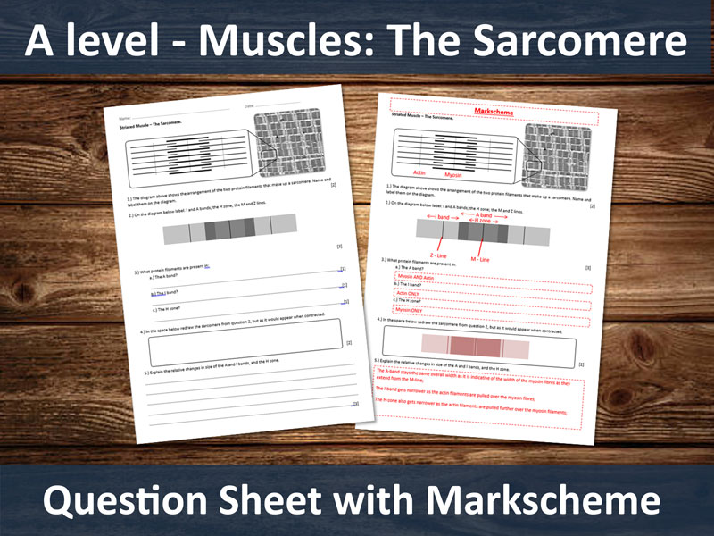 Muscles - The Sarcomere. (Simple recall/Comprehension Questions for A-level)