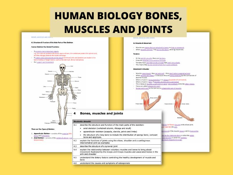 Bones, Muscles & Joints | (I)GCSE Human Biology Detailed Notes