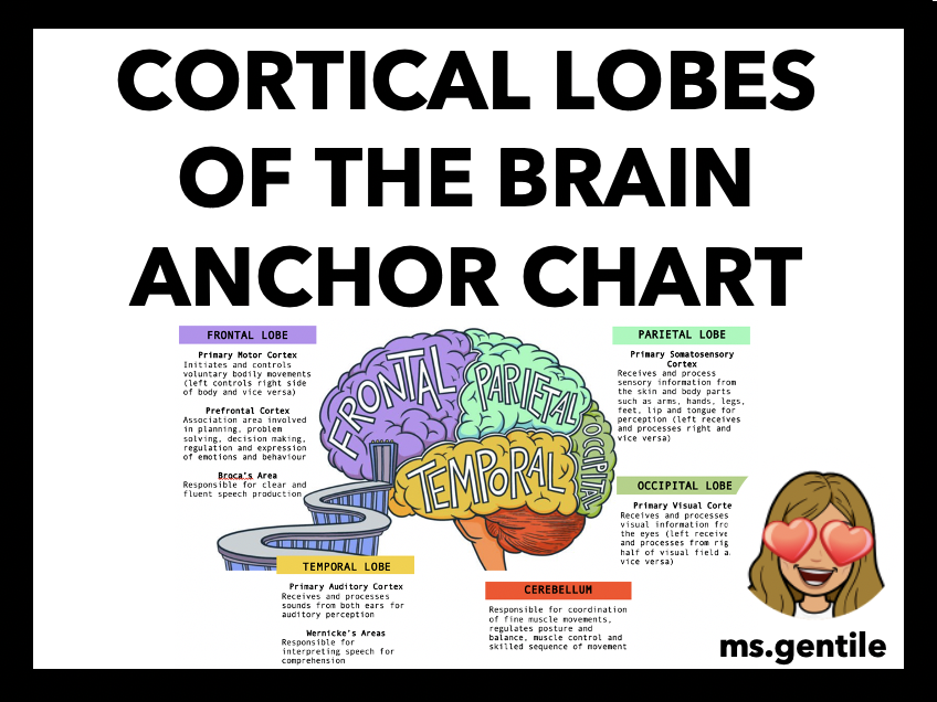 Cortical Lobes of the Brain Anchor Chart Poster