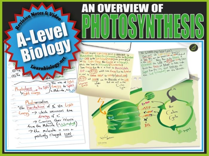 An Overview of Photosynthesis - A-Level Biology Revision Notes and Worksheet.