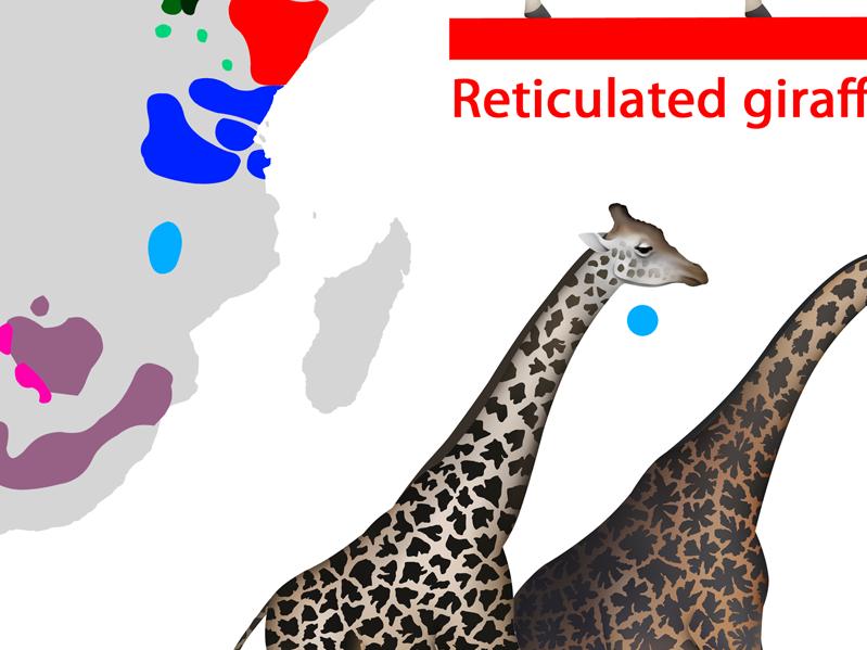 Biology - Giraffe Speciation/Evolution Infographic