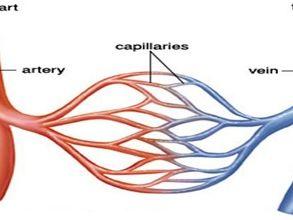 GCSE PE (edexcel - new specification) component 1.2  Cardiovascular resources
