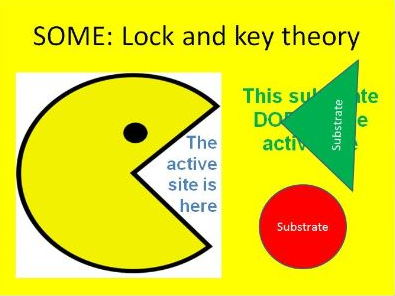 GCSE Enzymes introduction including lock and key theory