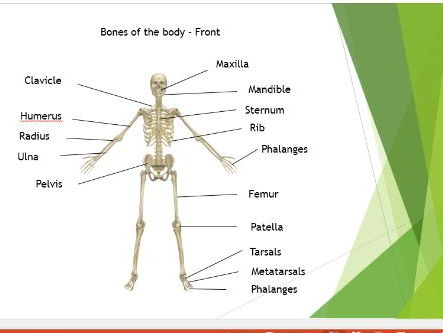 Edexcel New GCSE PE. Musculo-Skeletal System PowerPoint Presentation.