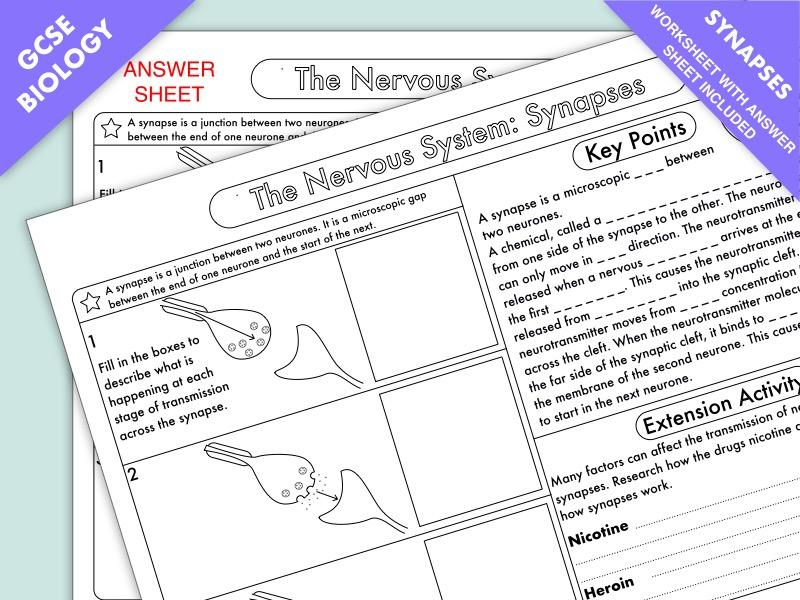 GCSE Biology: Synapse Worksheet