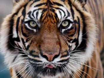 Tiger Eco-tourism India