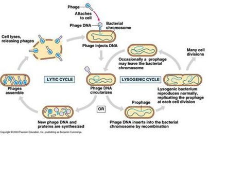 Virus Life Cycle