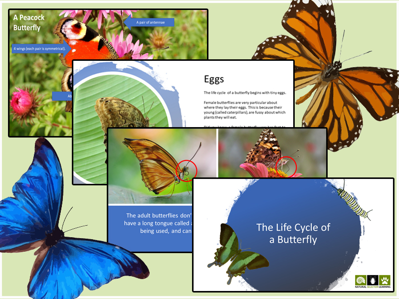 The Life Cycle of a Butterfly PowerPoint Presentation for KS2 (widescreen)