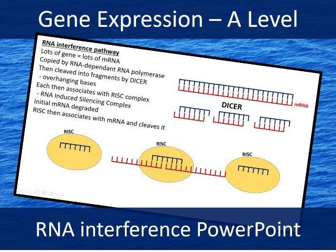 siRNA - small interfering RNA - A Level Biology Presentation